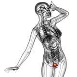 Human bladder Stock Photo