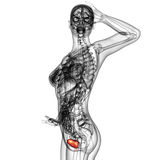 Human bladder Royalty Free Stock Photo