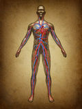 Human Blood Circulation Grunge. Human blood circulation color grunge vintage circulation in the cardiovascular System with heart anatomy from a healthy body on vector illustration