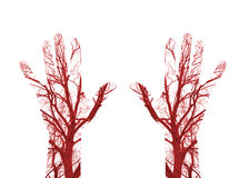 Human Blood Vessels Royalty Free Stock Photos