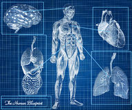 The Human Blueprint concept. Body, heart, lungs, brain and internal organs Royalty Free Stock Images