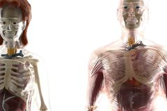 Human bodies. Female and male human bodies isolated on white background as a medicinal or health concept royalty free stock photography