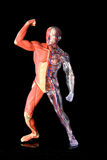 Human body. Plastic model of a human body, clear with inside system on one side, and muscle and flesh on the other royalty free stock image