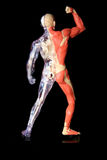 Human body. Plastic model a human body, clear with inside system on one side, and muscle and flesh on the other seen from back royalty free stock images