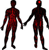 Human body. This image illustrate without skin the the human body Royalty Free Stock Photos