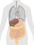 Human Body Anatomy - Digestive System Stock Photography