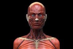 Human body anatomy of a female Stock Photos