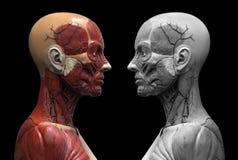 Human body anatomy of a female Stock Image