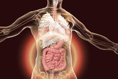 Human body anatomy with highlighted digestive system. 3D illustration stock illustration