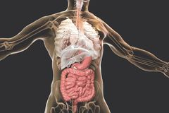 Human body anatomy with highlighted digestive system. 3D illustration vector illustration