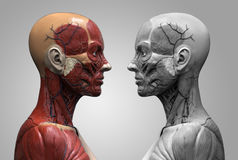 Human body anatomy Stock Images