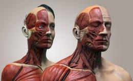 Human body anatomy male and female Stock Image