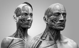 Human body anatomy male and female Royalty Free Stock Image