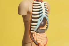 Human Body Anatomy Model. On a yellow background Royalty Free Stock Images