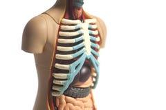 Human Body Anatomy Model. Isolated on white background stock image