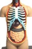 Human Body Anatomy Model. Isolated on white background stock photo