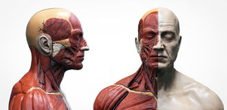 Free Human Body Anatomy Muscles Structure Of A Male Stock Photo - 153725410
