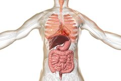 Human body anatomy, respiratory and digestive system. 3D illustration stock illustration