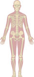 Human Body Anatomy - Skeleton Royalty Free Stock Image