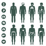 Human body anatomy. Vector medical organs icon Stock Images