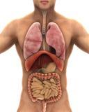 Human Body Anatomy. On White Background. 3d render stock illustration