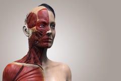 Human body anatomy of  woman Royalty Free Stock Photos