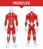 Human body anatomy workout, front and back muscular system of muscle groups parts . flat medical scheme poster of training healthc stock illustration