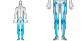Human Body Bone Joint Pains Anatomy Femur with Fibula and Tibia Posterior view. 3D Illustration of Human Body Bone Joint Pains Anatomy Femur with Fibula and Royalty Free Stock Photography