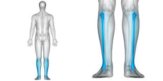 Human Body Bone Joint Pains Anatomy Fibula Bones Posterior view. 3D Illustration of Human Body Bone Joint Pains Anatomy Fibula Bones Posterior view Stock Photo