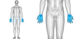 Human Body Bone Joint Pains Anatomy Finger Joints. 3D Illustration of Human Body Bone Joint Pains Anatomy Finger Joints Royalty Free Stock Photo