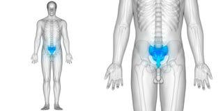 Human Body Bone Joint Pains Anatomy Sacrum. 3D Illustration of Human Body Bone Joint Pains Anatomy Sacrum Royalty Free Stock Photography
