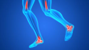 Human Body Bone Joint Pains (Foot joints and Bones) Anatomy Royalty Free Stock Photo