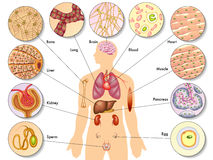 Human body cells vector illustration