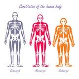 Human Body Constitution Flat Design Vector Concept Stock Photos
