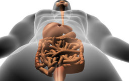 Human body with  digestive system Royalty Free Stock Images