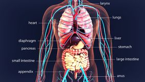 3d illustration human body organs .human body system. The human body is the entire structure of a human being. It is composed of many different types of cells Stock Photography