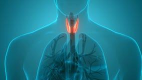 Human Body Glands Lobes of Thyroid Gland Anatomy Animation Concept
