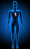Human body and heart Royalty Free Stock Photo