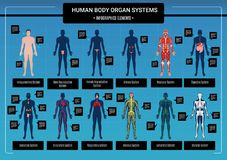 Human Body Infographics. Human body internal organs circulatory nervous and skeletal systems anatomy and physiology flat educative infographics vector stock illustration