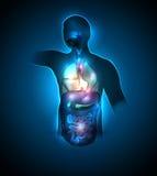 Human body internal organs stock illustration