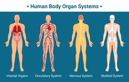 Human Body Organ Systems Poster. Human body internal organs circulatory nervous and skeletal systems anatomy and physiology flat educative poster vector vector illustration