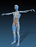 Human body with internal organs Stock Photo
