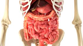 Human body and internal organs 3d rendering Stock Photography