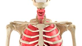 Human body and internal organs 3d rendering Stock Images