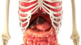 Human body and internal organs 3d rendering Royalty Free Stock Images