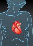 Human body with internal organs Stock Photos