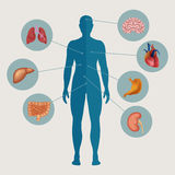 Human body with internal organs. Medical infographics elements. Vector illustration Royalty Free Stock Photos