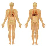 Human body of a man Stock Images