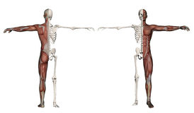 Human body of a man with muscles and skeleton vector illustration