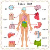 Human body medical demographic. Human body medical infographics with person silhouette and organs vector illustration Stock Images